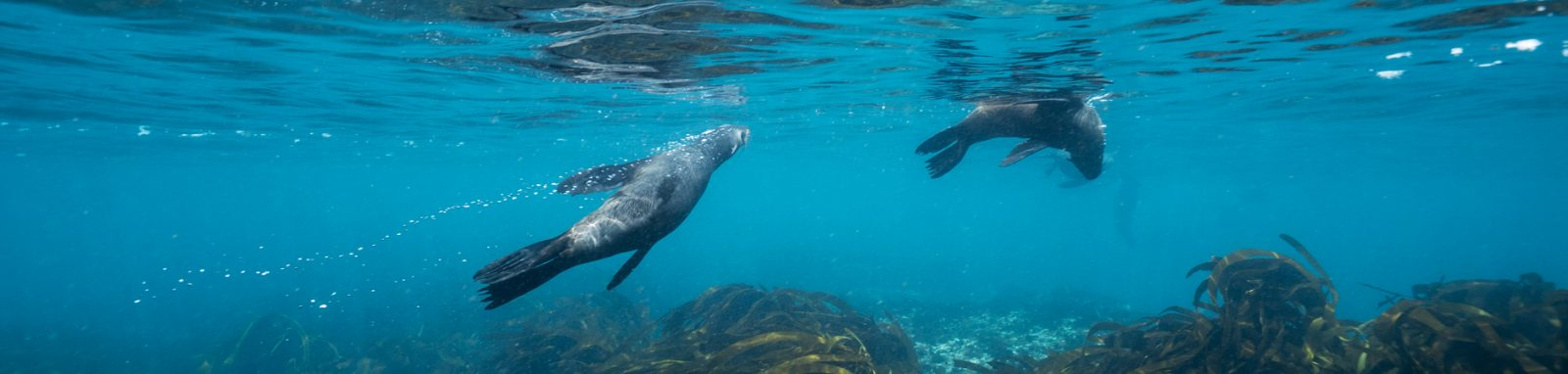 Seal snorkeling clean water hout bay animal ocean