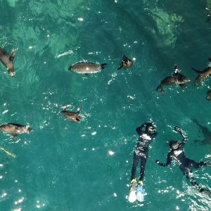 Seal Snorkeling Cape Town Animal Ocean Hout Bay. Drone View