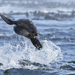 Seal Snorkeling Cape Town Animal Ocean Hout Bay