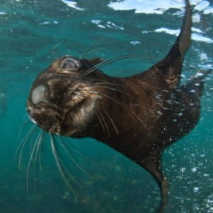 Close encounters with Cape Fur seal pups. Animal Ocean Seal Snorkeling