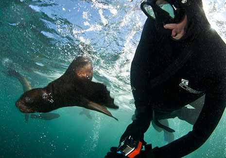 Cameras in use off Hout Bay Seal Snorkeling Cape Town Animal Ocean Hout Bay