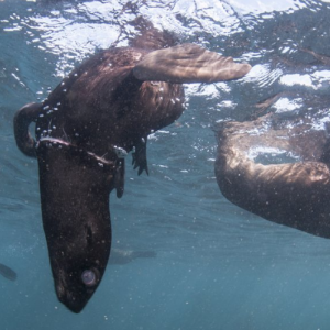Seal Snorkeling Animal Ocean Hout Bay South Africa