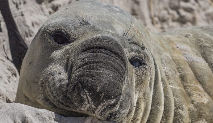 Buffel Elephant seal Cape Point Animal Ocean