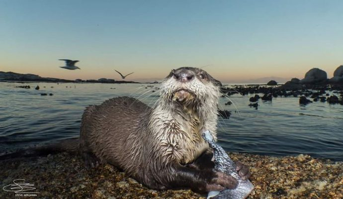 A Cape clawless otter holds a fish in its paws and looks into the camera
