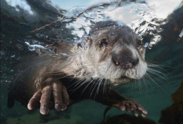 Cape clawless otter swims with its paws outstretched toward the camera