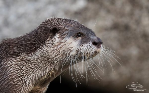 A Cape clawless otter looks at the ocean